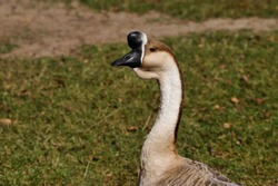 Portrait of domesticated chinese geese on the green meadow. Photography of nature and wildlife.