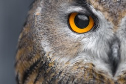 portrait of eagle owl with piercing yellow eyes