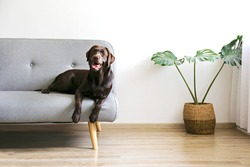 Portrait of eighteen months old chocolate labrador retriever lying on grey textile sofa. Happy and funny brown dog relaxing at home. Close up, copy space.