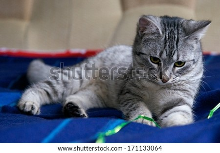 Portrait of elegant grey cat, young cat in blur background, cat portrait close up, animals, domestic cat, cat with green eyes, grey cat, cat at home, cat on siesta time