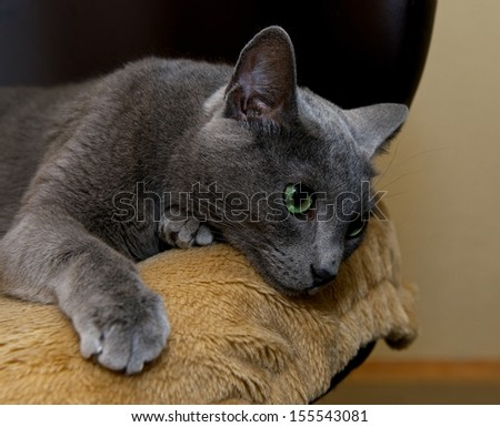 Portrait of elegant Russian Blue Cat, cat portrait, green eyes elegant kitten, pet at home