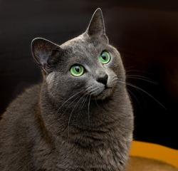 Portrait of elegant Russian Blue Cat, Russian Blue cat in blur brown dirty background, cat portrait, animals, domestic cat, Russian Blue, cat with green eyes, grey cat, elegancy