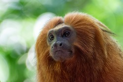 Portrait of endangered species Golden Lion tamarin, or Mico-Leão-Dourado,(Leontopithecus rosalia), brazilian endemic primate