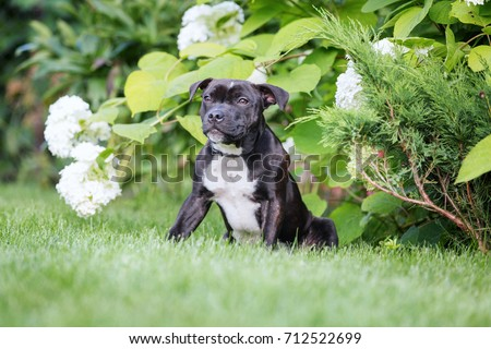 Portrait of english staffordshire dog. #712522699