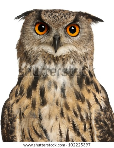 Portrait of Eurasian Eagle-Owl, Bubo bubo, a species of eagle owl in front of white background - stock photo