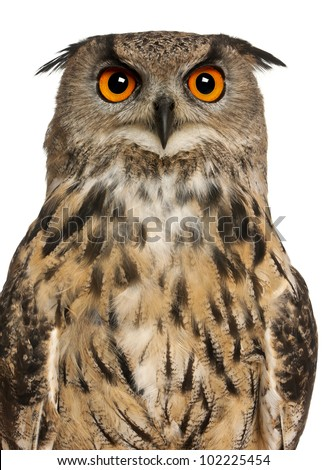 Portrait of Eurasian Eagle-Owl, Bubo bubo, a species of eagle owl in front of white background