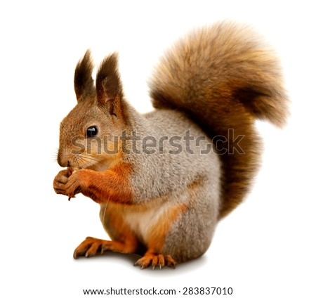 Portrait of eurasian red squirrel in front of a white background #283837010