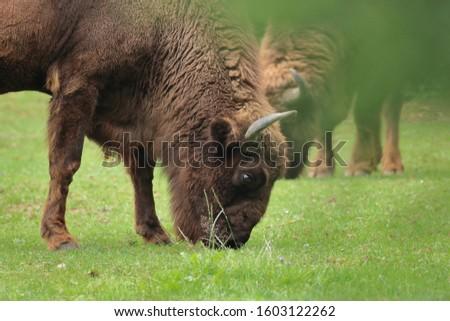 Portrait of European bison (bison bonasus) grazing grass on meadow. Second animal on background. Natural wildlife scene from Bavarian forest. Habitat Europe.