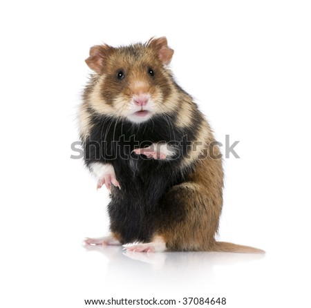 Portrait of European Hamster, Cricetus cricetus, against white background, studio shot