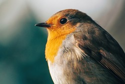 Portrait of european robin. Beige and green bokeh background. Photo is focused on the bird's eye. Close up of robin redbreast.