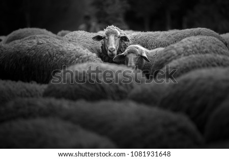 Portrait of family sheep in the farm. #1081931648