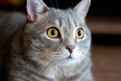 portrait of fat tabby british cat with big eyes looking to side.