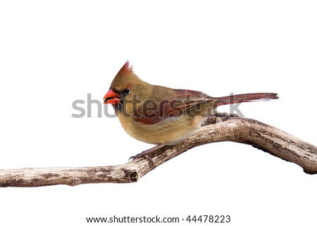 portrait of female cardinal preparing for takeoff with sunflower seed in her mouth; white background