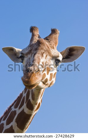 Portrait of female giraffe with blue sky background