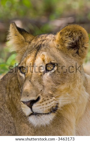 Portrait of female lion; Panthera leo