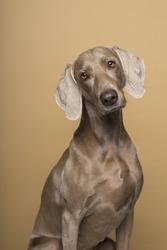 Portrait of female Weimaraner dog on a beige background