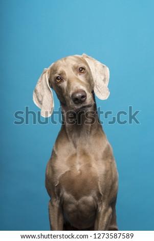 Portrait of female Weimaraner dog on a blue background #1273587589