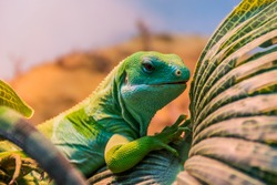 Portrait of Fiji banded iguana (Brachylophus bulabula) is species of iguanid lizard endemic. Beautiful green lizard sits on the palm leaf. Endangered not poisonous reptile.