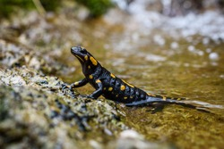 Portrait of fire salamander in river water stream natural environment. Small orange black amphibian lizard in natural habitat close-up macro shot. Vrhnika, Slovenia.