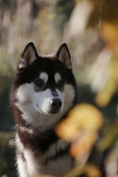Portrait of fleecy grey and white dog of siberian husky breed amidst summer bushes and dry grass