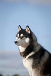 Portrait of fleecy grey and white dog of siberian husky breed by a summer sky outdoors