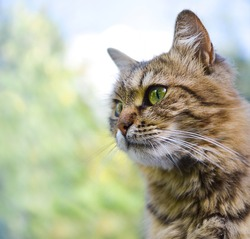 portrait of fluffy cat with green eyes against the backdrop of nature.