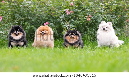 Portrait of fluffy pomeranian spitz dogs sitting on green grass smiling and posing at nature Stock foto ©