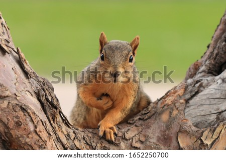 Photo of  Portrait of fox squirrel (Sciurus niger) sitting on branch isolated on green. Holds foreleg with nut on chest. Urban wildlife. The largest species of tree squirrel in N. America. Denver, Colorado.