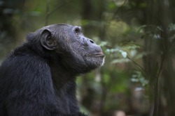 Portrait of free wild chimpanzee