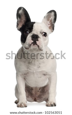 Portrait of French Bulldog, 8 months old, sitting in front of white background