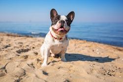 Portrait of french bulldog on the beach