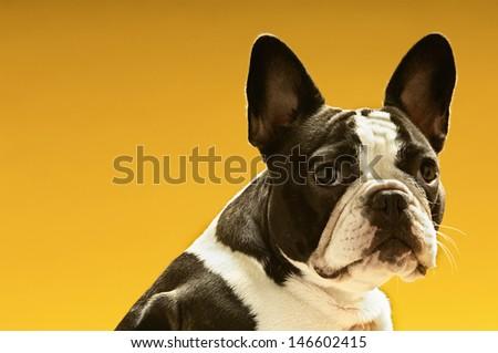 Portrait of French bulldog on yellow background