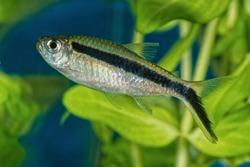 Portrait of freshwater tetra fish (Boehlkea fredcochui) in aquarium