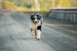 Portrait of funny and crazy Blue merle Australian shepherd dog at sunset in summer. Happy aussie puppy running on the road
