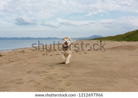 Portrait of funny and happy Beige and white Siberian Husky dog running on the beach at seaside. One day with adorable husky dog on the shore of the sea in summer. #1212697966