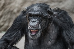 Portrait of funny and laughing Chimpanzee, close up adult, male