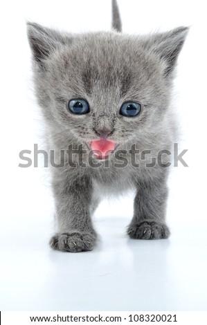 portrait of funny British grey kitten