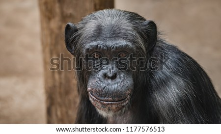 Portrait of funny Chimpanzee with a smugly smile, at smooth background, extreme closeup, details, paste space