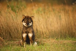 Portrait of funny, cute and cunning japanese dog breed shikoku sitting in the field in autumn