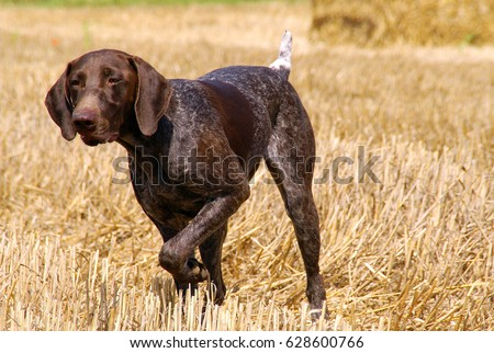 Portrait of German shorthaired pointer dog in outdoors. #628600766