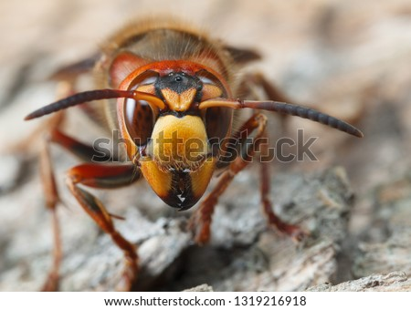 Portrait of giant hornet (Vespa crabro) over grey weathered pine wooden background