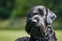 Portrait of Giant Schnauzer. Large purebred dog posing in summer nature.