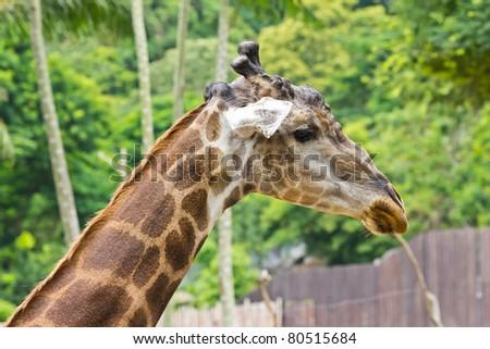 portrait of giraffe #80515684