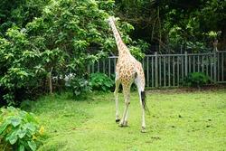 portrait of giraffe in the zoo