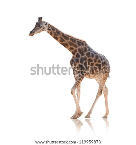 Portrait Of Giraffe Walking Isolated On White Background