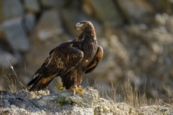 Portrait of golden eagle, Aquila chrysaetos, perched on rock. Majestic bird with sharp hooked beak in beautiful nature. Hunting eagle in mountains. Habitat Europe, Asia, North America.