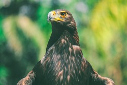 Portrait of Golden Eagle in Mexico