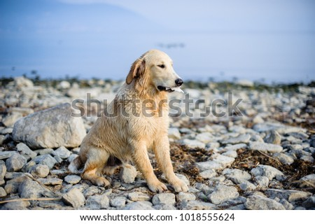 portrait of golden retriever dog in nature outdoor, woods and meadows during spring #1018555624