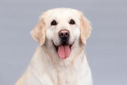 portrait of golden retriever dog with tongue