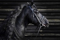 Portrait of gorgeous black Frisian or Friesian horse with long mane on wood background
